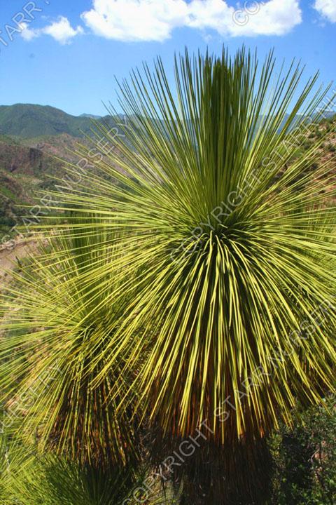 a Yucca queretaroensis 03
