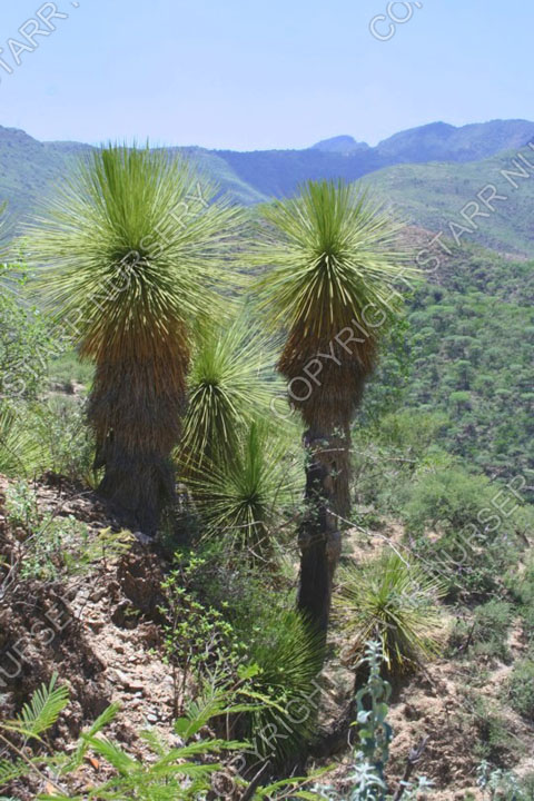 Yucca queretaroensis 02_w