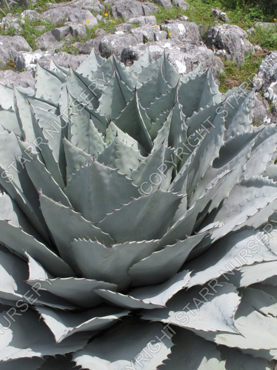 A tight rosette with many silvery blue leaves.