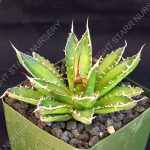 Agave horrida in 3 inch pot
