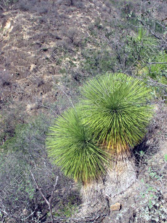 IMG_1586 Yucca queretaroensis - Xichu_w