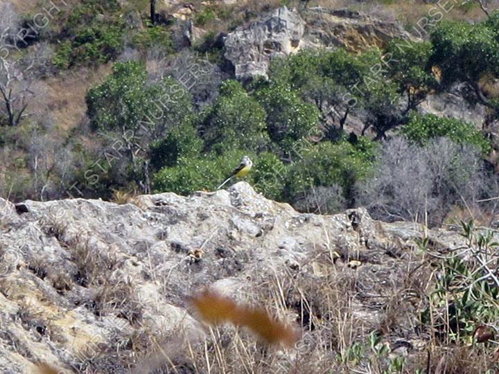 Madagascar wagtail