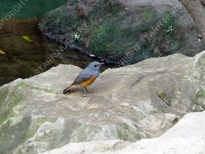 A pretty forest rock thrush