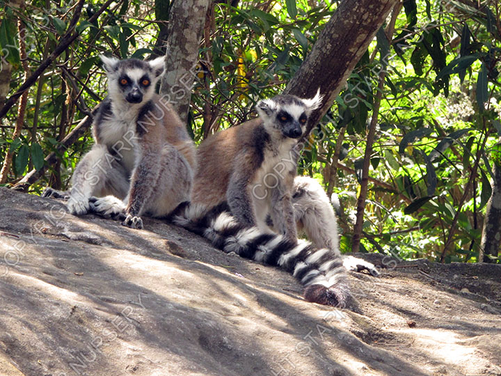 Ring-tailed lemurs.