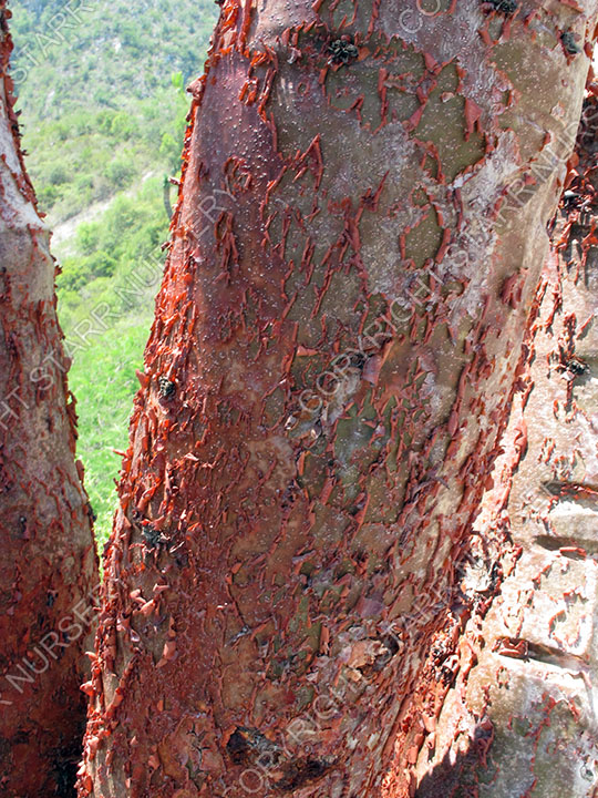 The peeling bark of this bursera is way to cool.