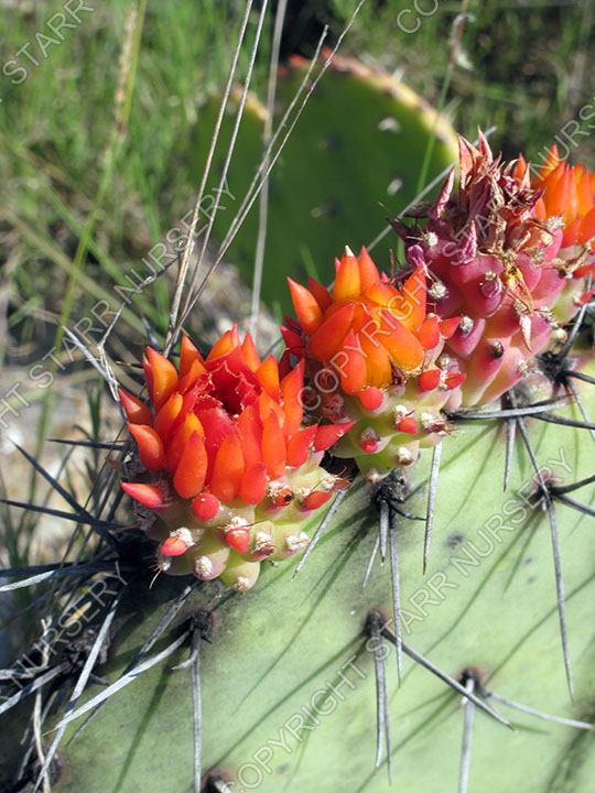 The unusual flowers of Opuntia stenopetala.