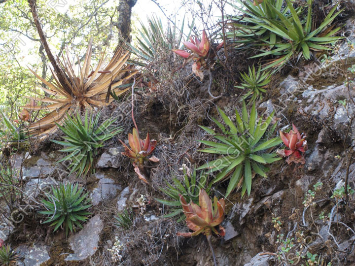 Plants growing with Echeveria dactylifera on Mexico Highway 40, the famous Mazatlan-Durango Highway.