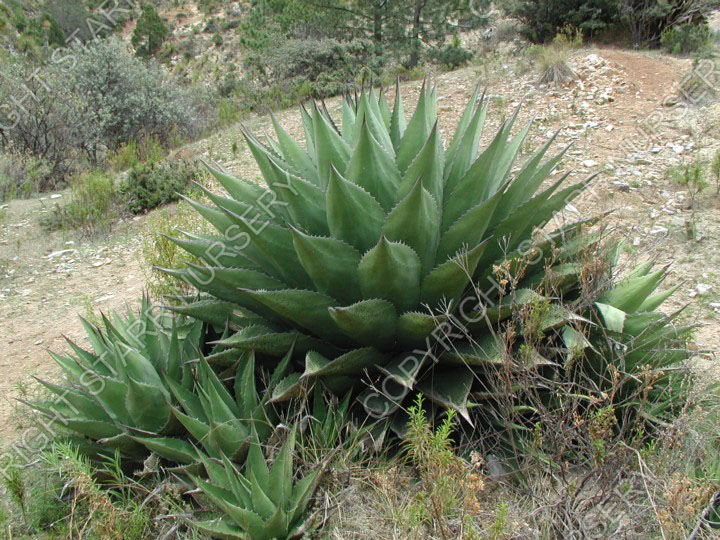This form has a denser rosette more similar to the plants found on Cerro Potosi, but is surrounded by offsets.